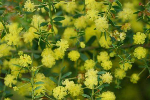 Acacia Pot o Gold