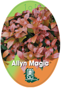Acmena Allyn Magic