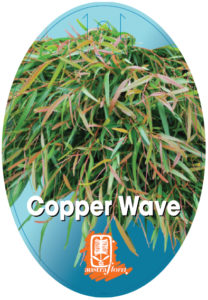 Agonis Copper Wave