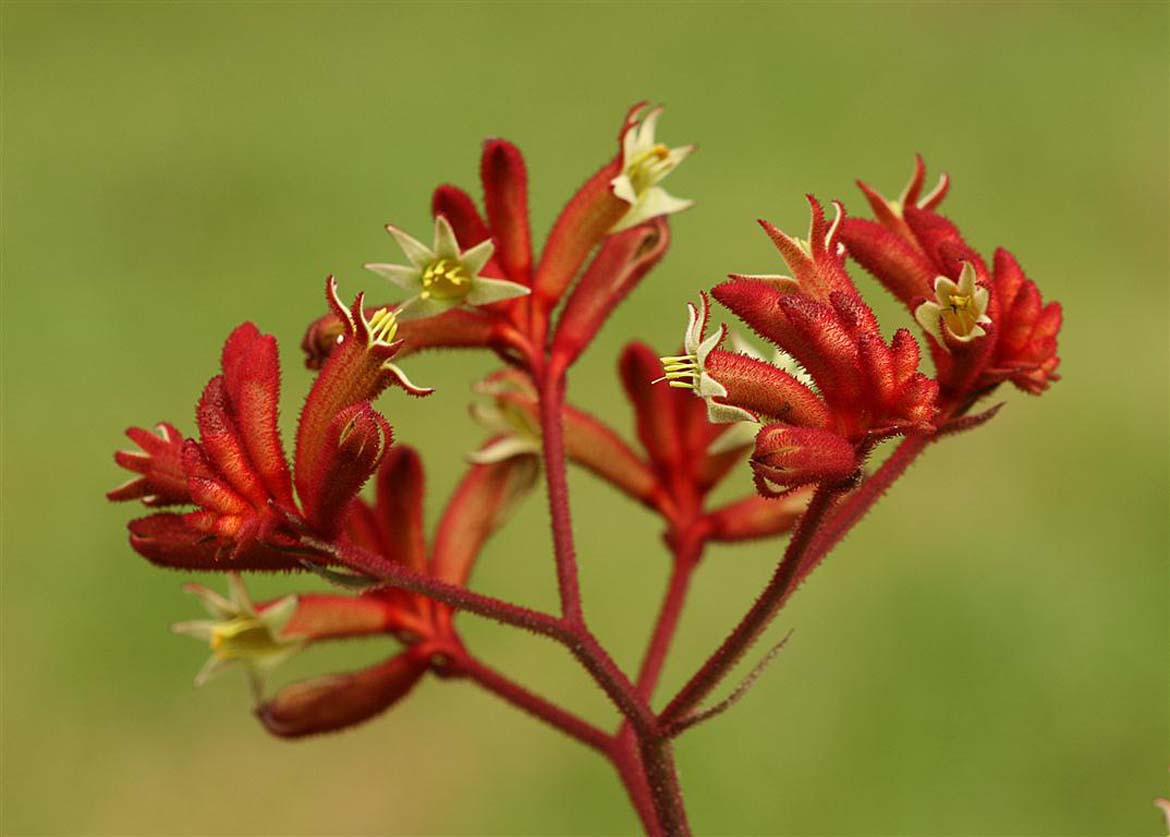 Anigozanthos Ruby Slippers
