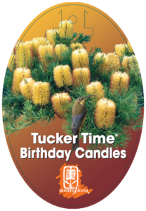 Banksia Birthday Candles