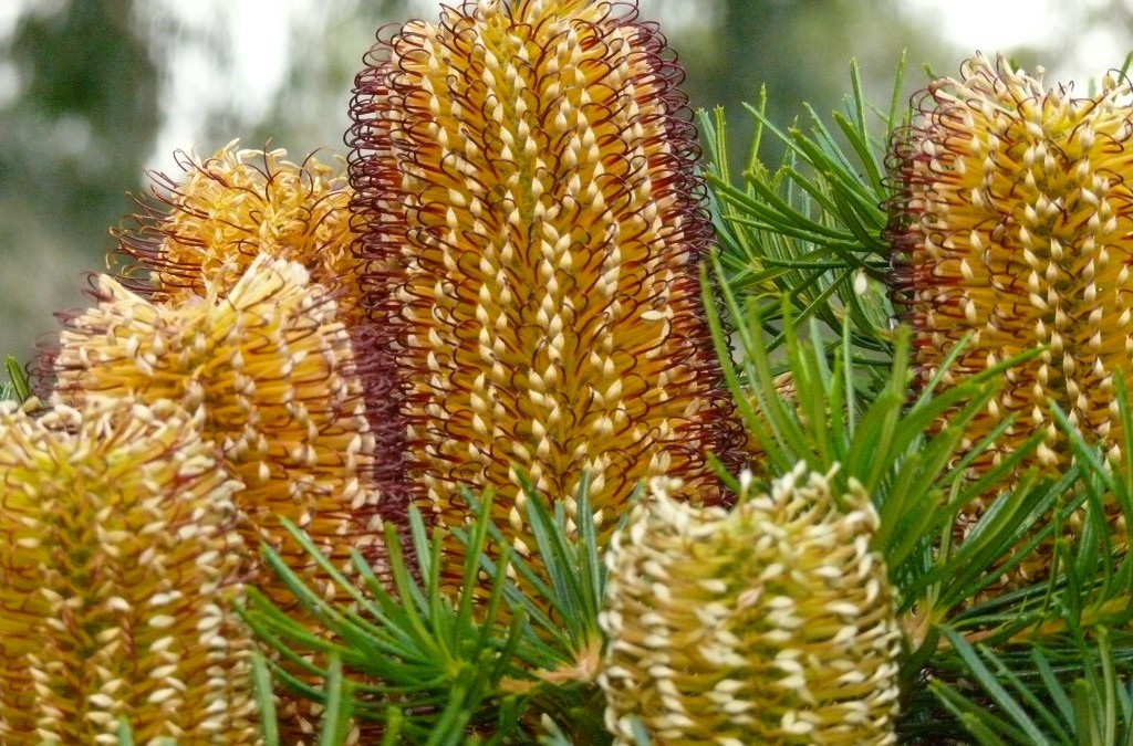 Banksia Cherry Candles Flowering!