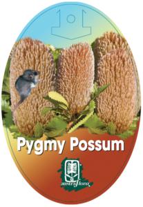 Banksia Pygmy Possum