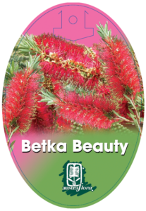 Callistemon Betka Beauty