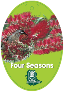 Callistemon Four Seasons