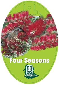 Callistemon Four Seasons