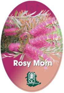 Callistemon Rosy Morn