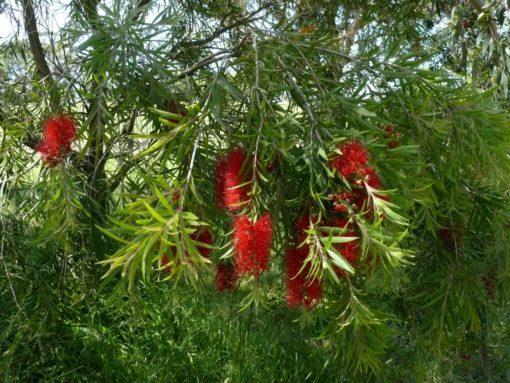Callistemon Edna Walling Scarlet Willow