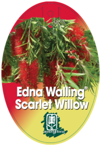 Callistemon Scarlet Willow