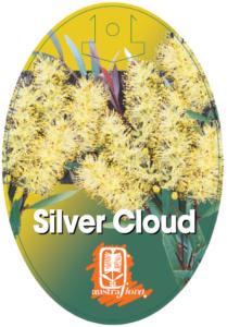 Callistemon Silver Cloud