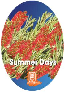 Callistemon Summer Days