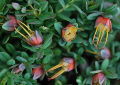 Darwinia Seaspray