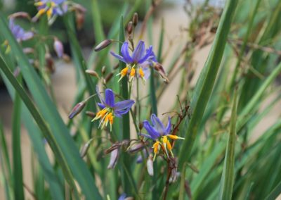 Dianella Big Blue