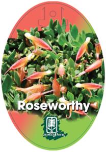 Eremophila Roseworthy