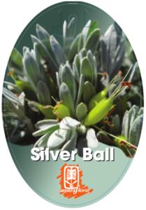 Eremophila Silver Ball