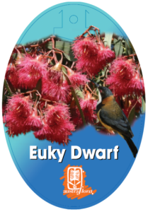 Eucalyptus Euky Dwarf