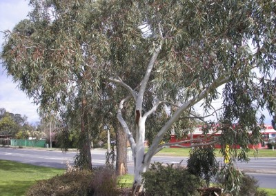 Eucalyptus Edna Walling Little Snowman