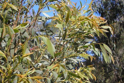 Eucalyptus Little Star