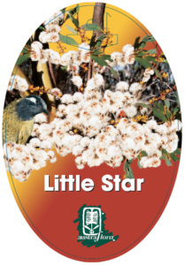 Eucalyptus Little Star