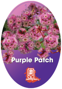 Eucalyptus Purple Patch
