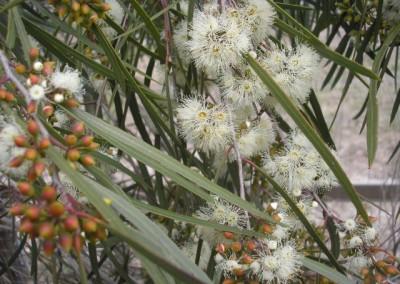 Eucalyptus Winter Light