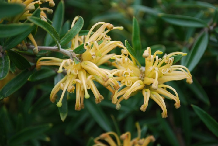 Tips For Planting Grevilleas