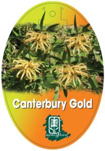 Grevillea Canterbury Gold