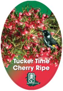 Grevillea Cherry Ripe
