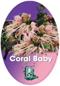 Grevillea Coral Baby