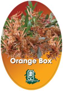 Grevillea Orange Box