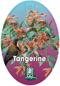 Grevillea Tangerine