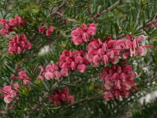 Grevillea Tucker Time Fruit Box