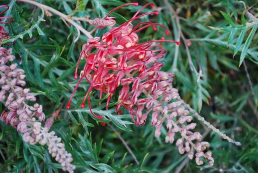 Grevillea Little Robyn
