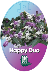 Hardenbergia Happy Duo