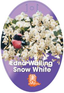 Hardenbergia Snow White
