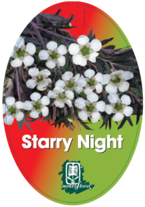 Leptospermum Starry Night