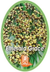 Lomandra Emerald Grace