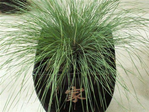 Lomandra Emerald Grace (PBR)