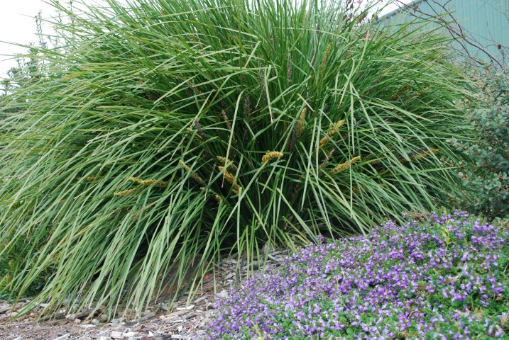 Landscaping With Lomandra