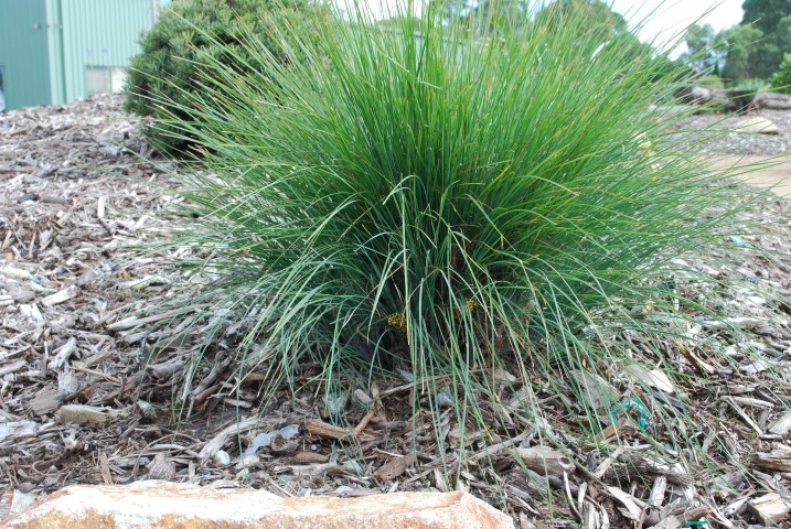 Lomandra Frosty Top (PBR)