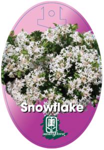 Pimelea Snowflake