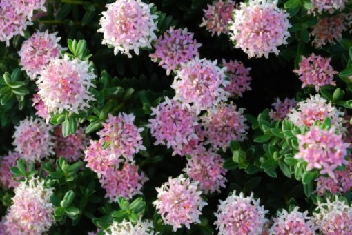 Pimelea Sunset Blush