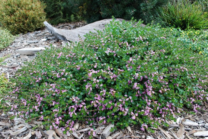 Scaevola Fan Magic Pink Minx