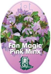 Scaevola Pink Minx