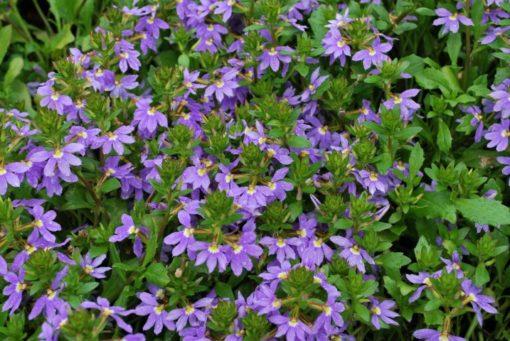Scaevola Purple Fanfare