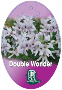 Westringia Double Wonder