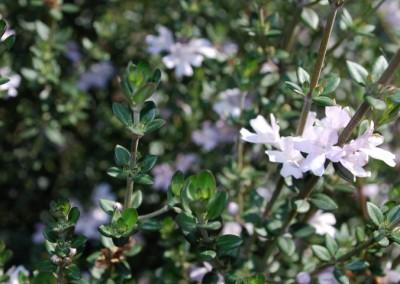 Westringia Edna Walling Rosemary