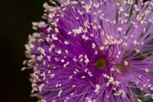 """""""Melaleuca nesophila"""" by Simon Burdon"""