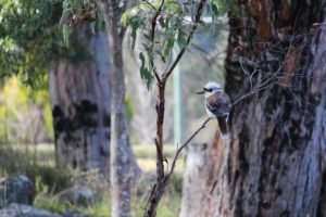 """Kookaburra"" by Cheryl Dodd"