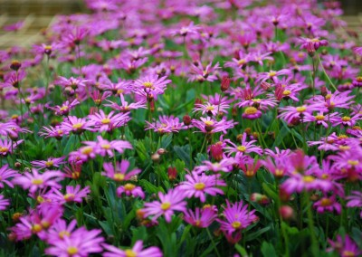 Brachyscome Magenta Bliss (PBR)